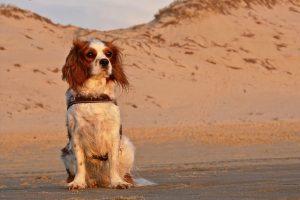כלב גזעי